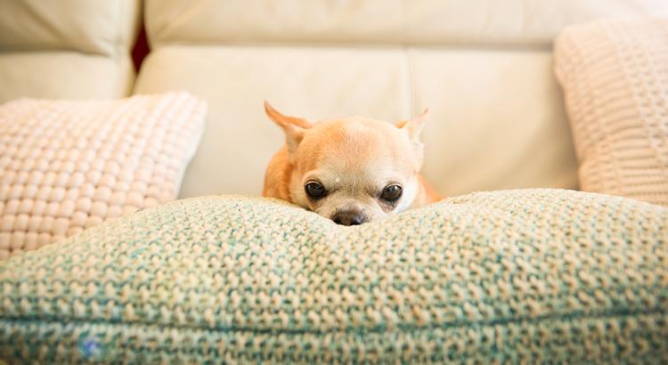 Cachorrinho bravo em cima de um sofá