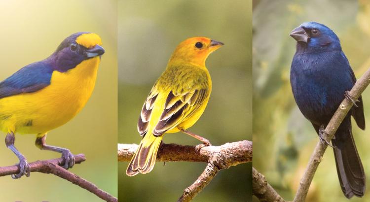 pássaros de três espécies distintas em cima de uma árvore