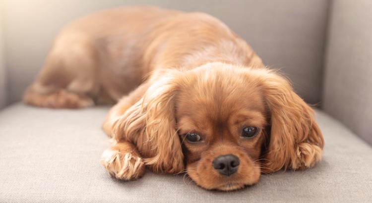 cachorrinho marrom deitado no sofá