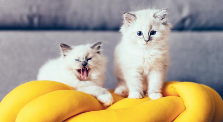 Gatinhos filhotes em cima de um travesseiro amarelo
