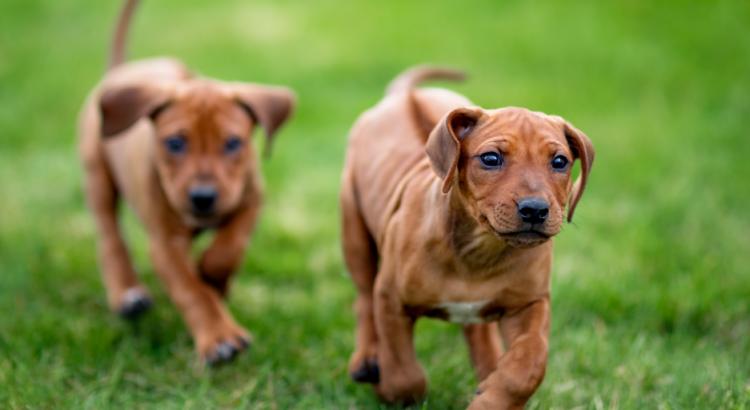 Dois filhotes de cachorrinhos andando juntos (o que é imprinting canino)