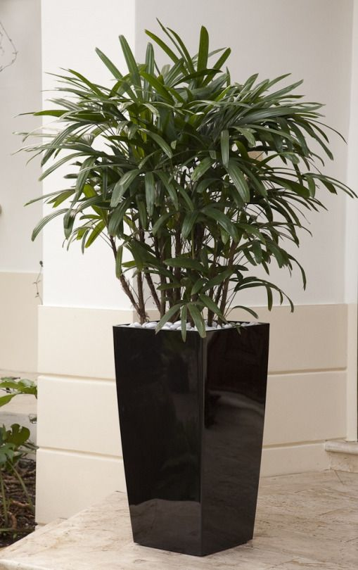 plantas para cultivar em casa: palmeira ráfia