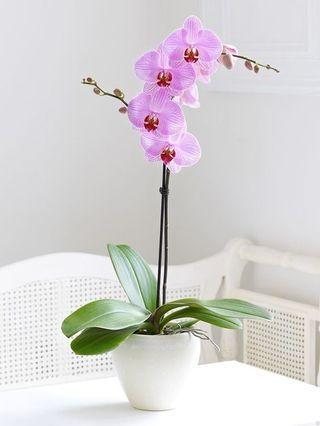 plantas para cultivar em casa: orquídeas