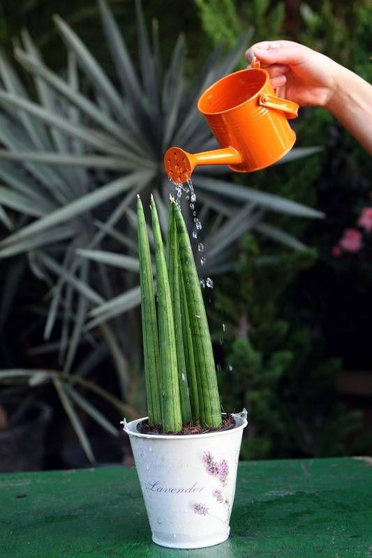 plantas para cultivar em casa: lança de São Jorge
