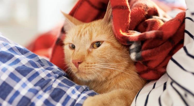 gato embaixo do cobertor