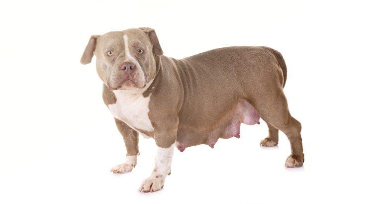 cadela prenha cadela grávida cachorra grávida