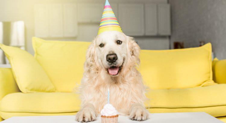 cachorro-golden retriever- aniversário de cachorro - idade de cachorro - idade de um cachorro